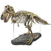 3 foot t rex skeleton