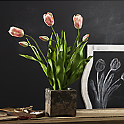 potted tulips 156