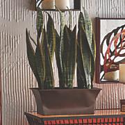 sanservienia plant