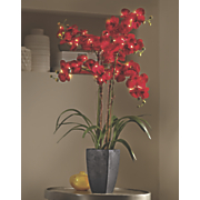 lit phalaenopsis orchid in pot