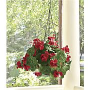 led geranium hanging basket