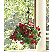 led geranium hanging basket